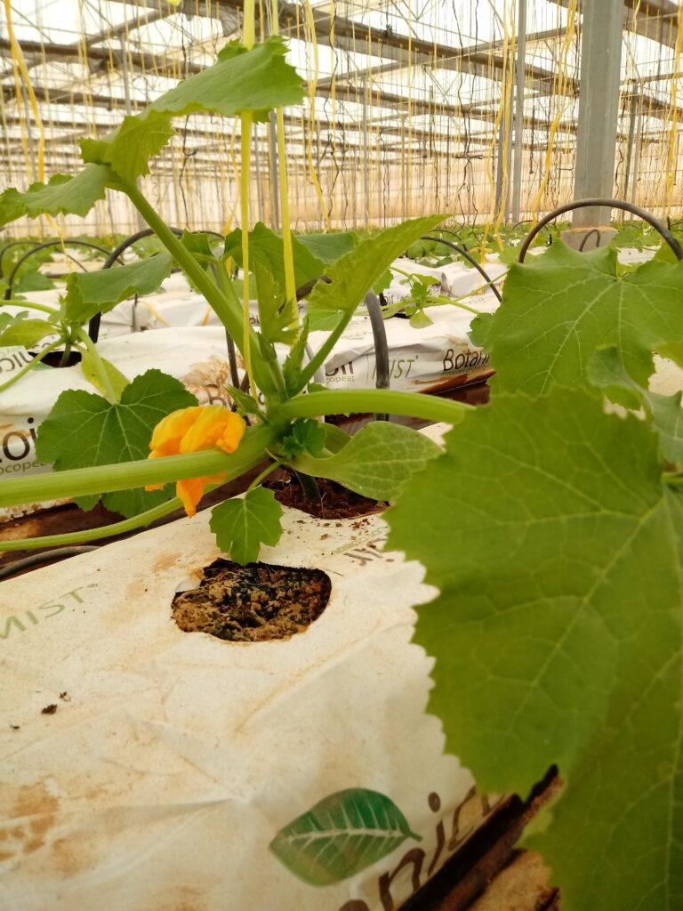 Invernaderos con cultivo hidropónico